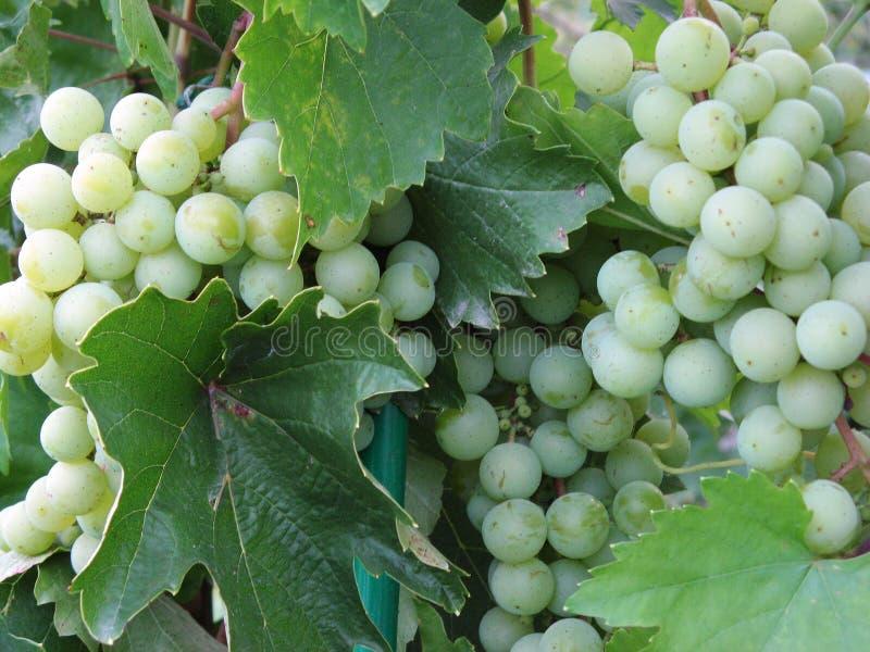 Gruppi di terminali dell'uva verde fotografia stock