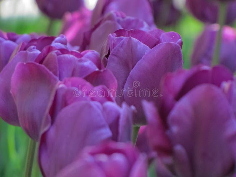 Gruppierte purpurrote Tulpen mit Gr?n lizenzfreie stockfotos