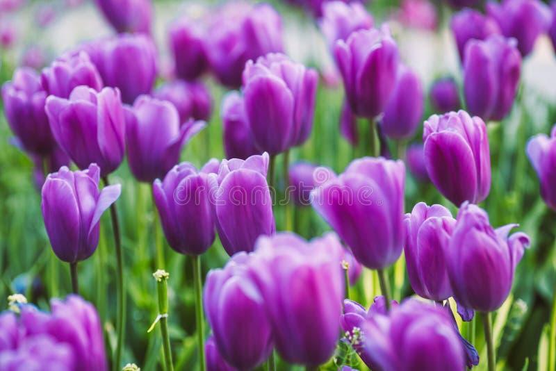 Grupplilatulpan Härlig tulpan i en blomsterrabatt royaltyfri bild