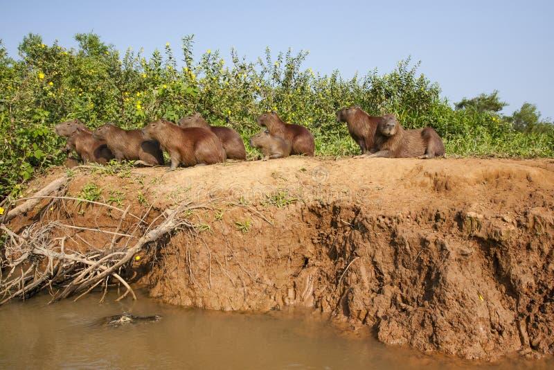 Gruppo attento di capybara con il caimano che si apposta sotto fotografia stock libera da diritti