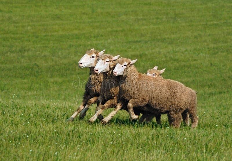 Gruppo corrente di pecore (aries del Ovis) fotografia stock