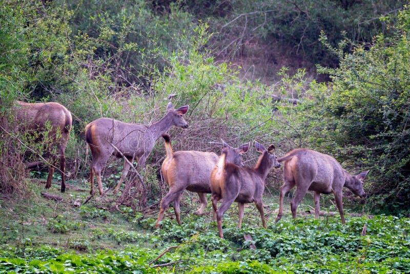 Gruppo dei cervi del Sambar fotografia stock