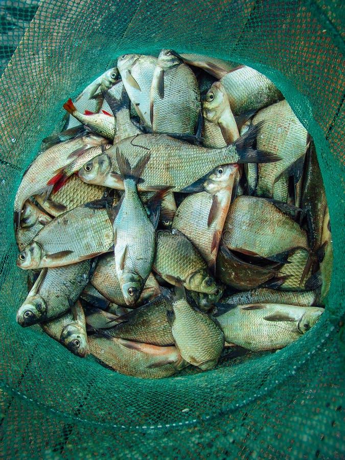 Gruppo dei pesci dell'orata che risiedono nella rete da pesca fotografie stock