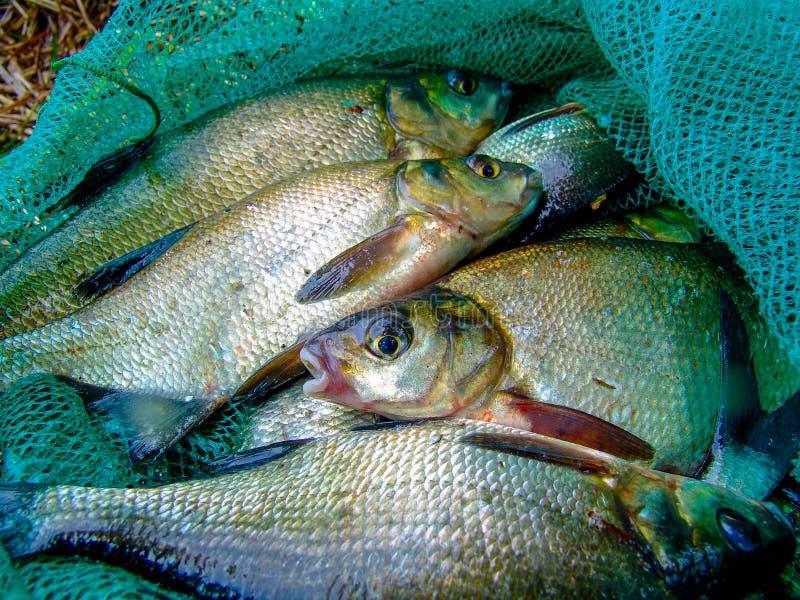 Gruppo dei pesci dell'orata che risiedono nella rete da pesca fotografia stock libera da diritti