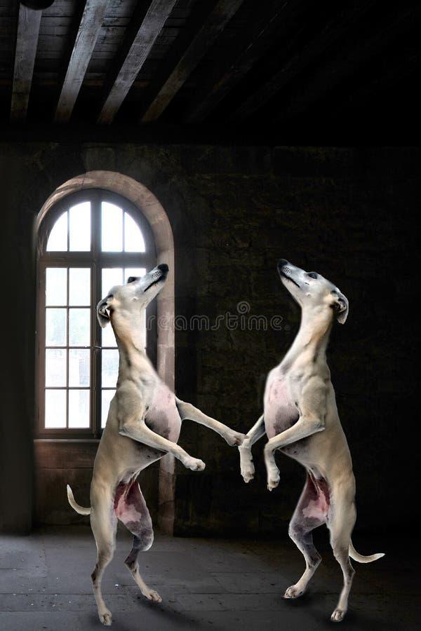 Gruppo dei piccoli levrieri inglesi che ballano in una stanza scura di mistero immagine stock libera da diritti