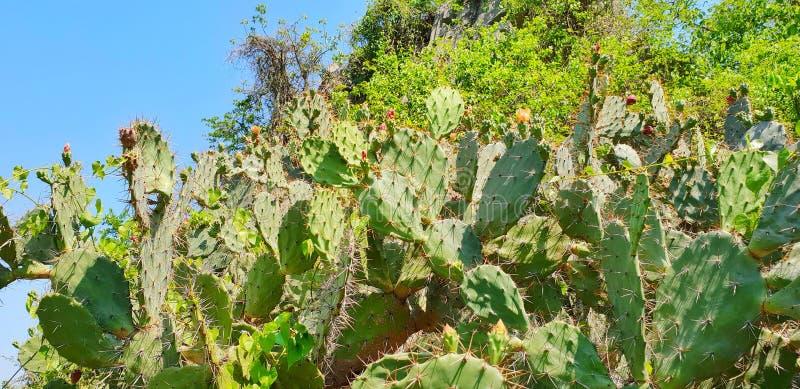 Gruppo del cactus sul fondo del cielo blu spine del cactus, fotografia stock