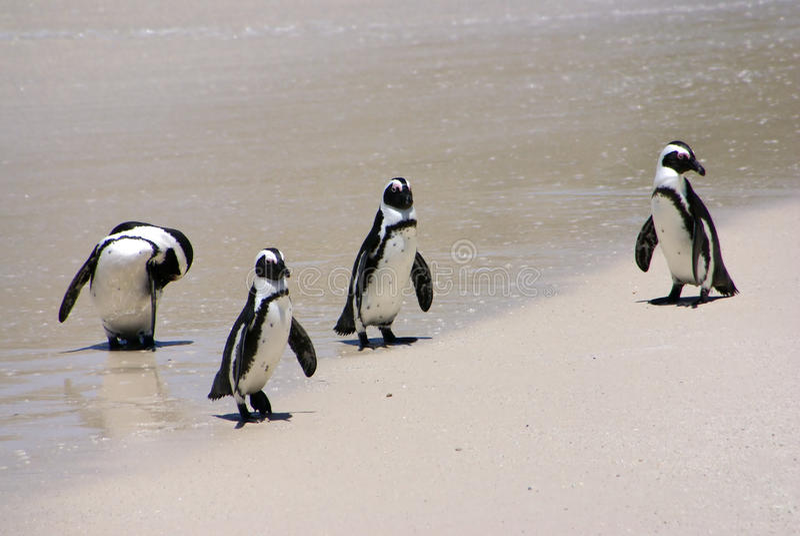 Gruppo del pinguino immagine stock
