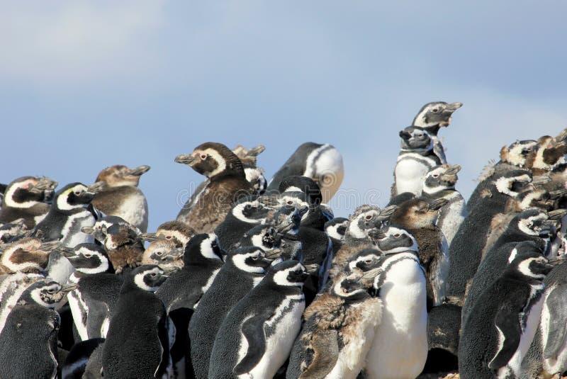 Gruppo del pinguino di Magellanic, magellanicus dello spheniscus, Falkland Islands fotografia stock libera da diritti