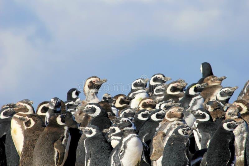 Gruppo del pinguino di Magellanic, magellanicus dello spheniscus, Falkland Islands fotografia stock
