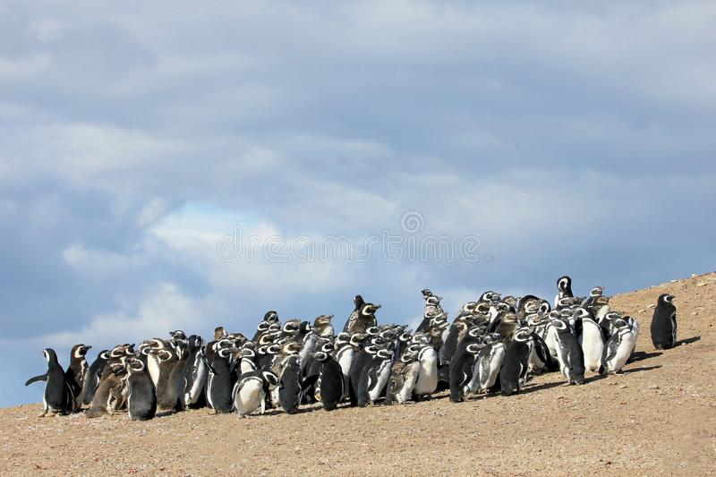 Gruppo del pinguino di Magellanic, magellanicus dello spheniscus, Falkland Islands fotografie stock
