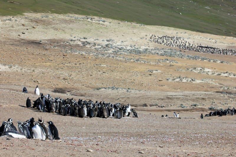 Gruppo del pinguino di Magellanic, magellanicus dello spheniscus, Falkland Islands immagini stock libere da diritti