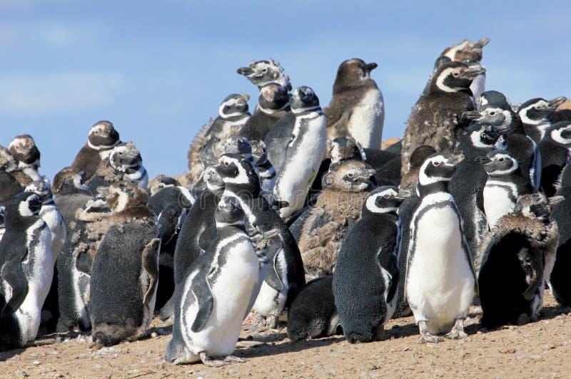 Gruppo del pinguino di Magellanic, magellanicus dello spheniscus, Falkland Islands immagine stock