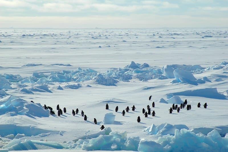 Gruppo del pinguino nel icescape immagini stock libere da diritti