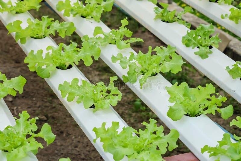 Gruppo del primo piano di alberello della verdura idroponica nel fondo strutturato dell'azienda agricola di verdure fotografie stock