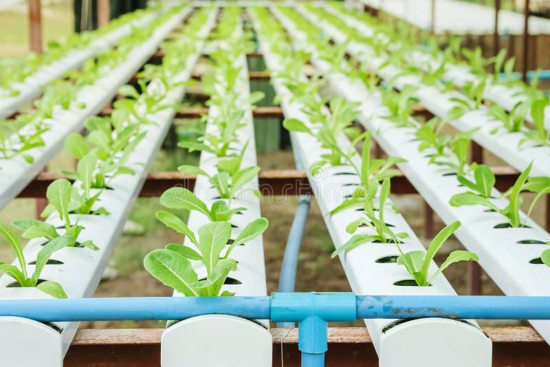 Gruppo del primo piano di alberello della verdura idroponica nel fondo strutturato dell'azienda agricola di verdure fotografia stock