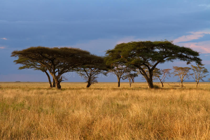 Gruppo dell'albero dell'acacia al tramonto immagine stock