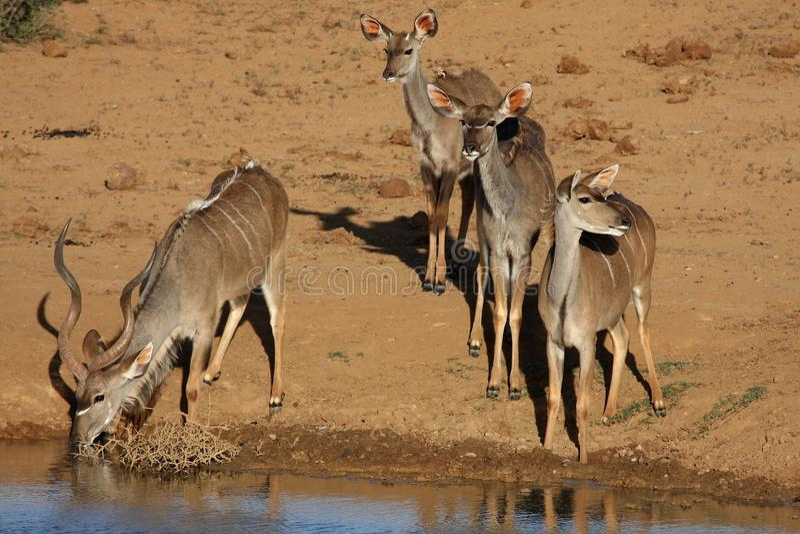 Gruppo dell'antilope di Kudu a Waterhole immagine stock