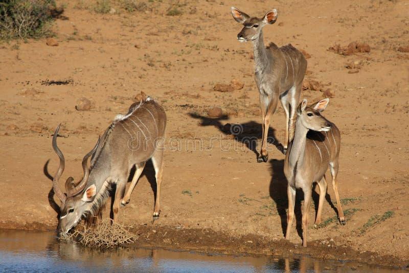 Gruppo dell'antilope di Kudu a Waterhole fotografie stock