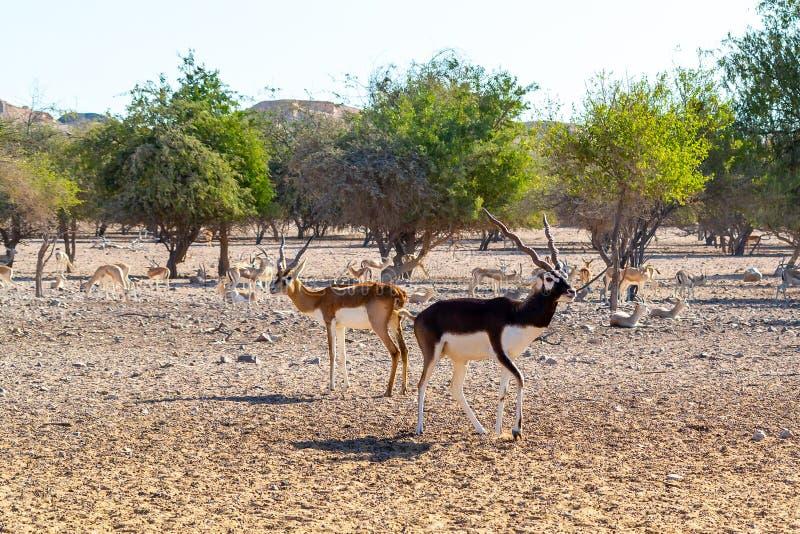 Gruppo dell'antilope in un parco di safari sull'isola di Sir Bani Yas, Emirati Arabi Uniti fotografia stock libera da diritti