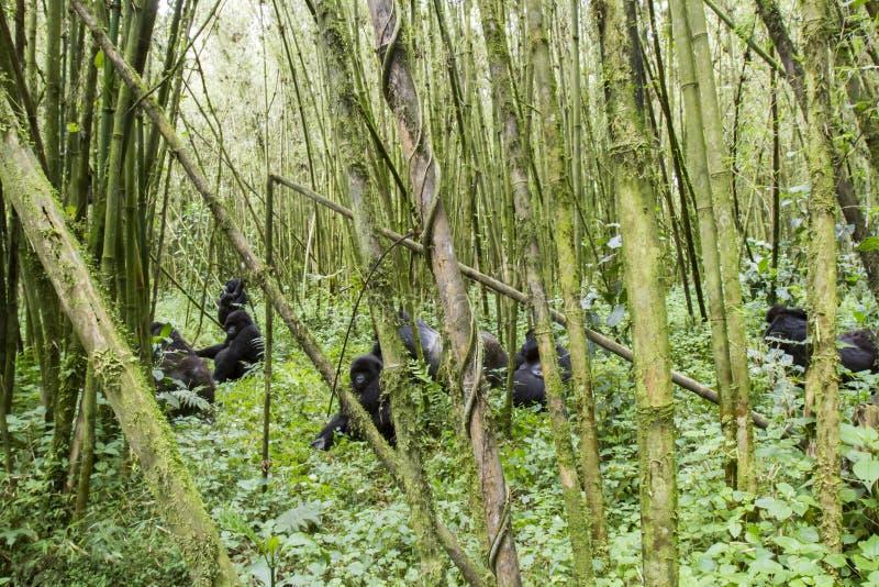 Gruppo della gorilla di montagna nel parco nazionale dei vulcani, Virunga, Rwan immagini stock libere da diritti