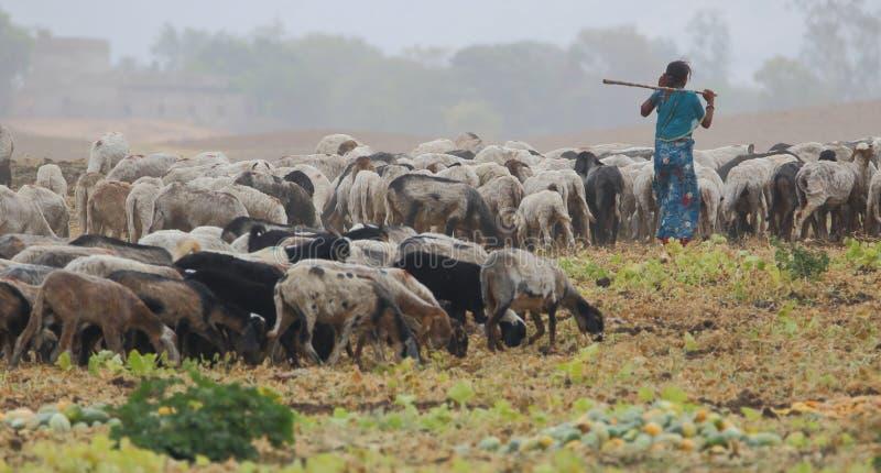 Gruppo delle pecore fotografia stock libera da diritti