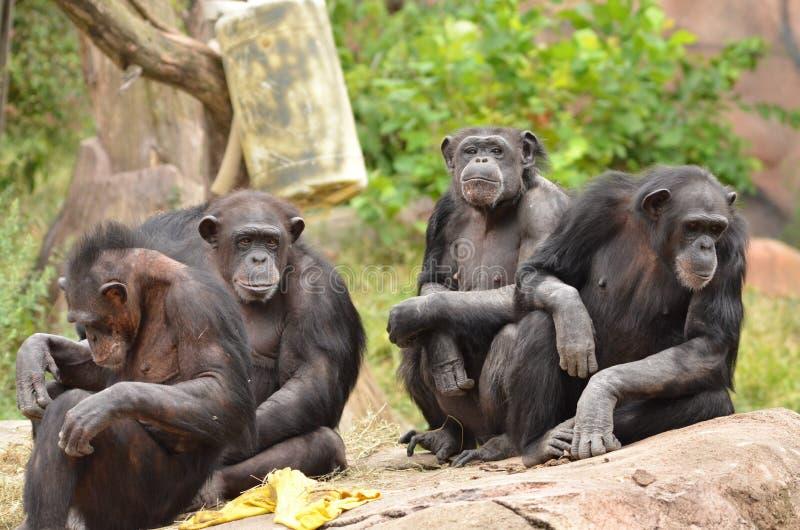 Gruppo dello scimpanzè immagini stock