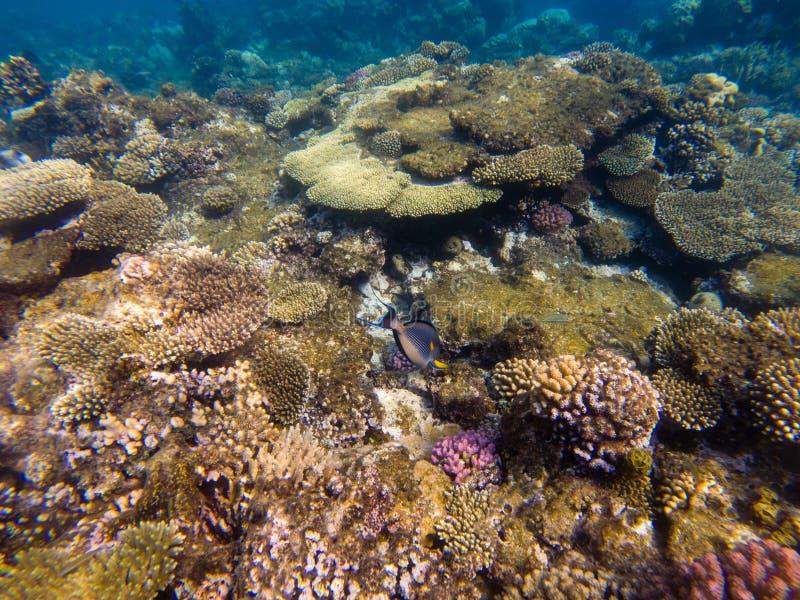 Gruppo di acqua blu dei pesci di corallo fotografie stock libere da diritti
