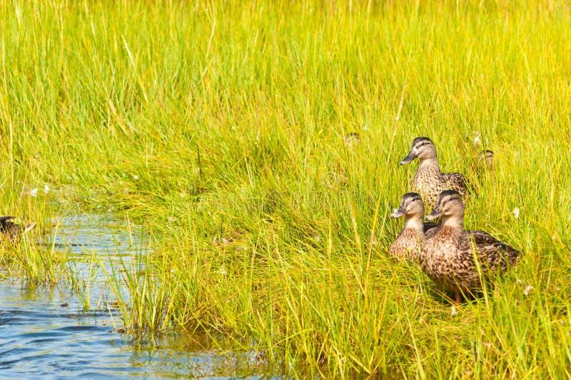 Gruppo di anatra del germano reale che cammina attraverso l'erba allo stagno di un'isola della barriera su un nuvoloso, pomeriggi immagine stock