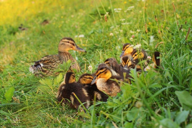 Gruppo di anatroccolo selvaggio del giovane germano reale che mette sull'erba, gett immagine stock