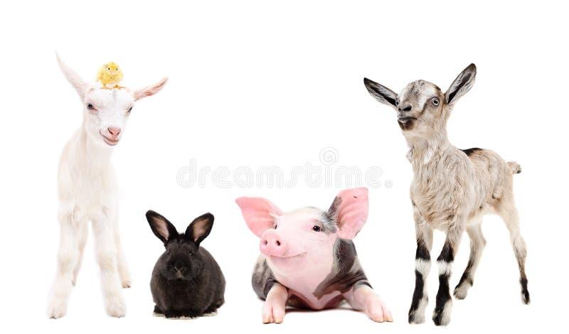 Gruppo di animali dell'allegra fattoria immagine stock