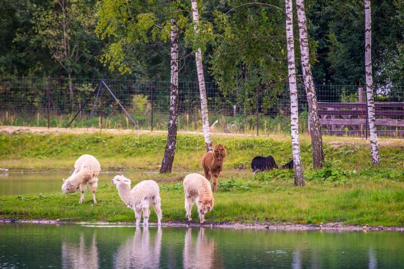 Gruppo di animali dell'alpaga in parco fotografia stock