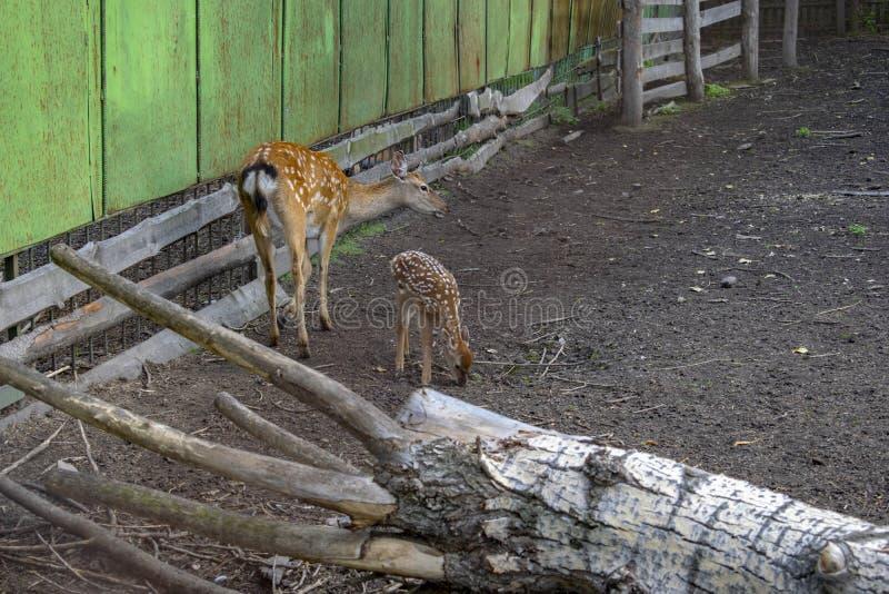 Gruppo di animali selvatici dei cervi di uova all'aperto dello zoo in estate immagini stock