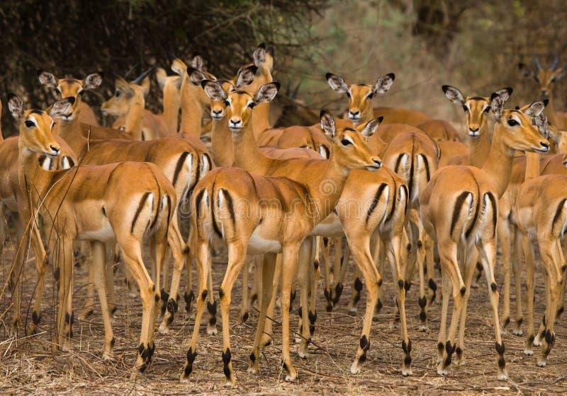 Gruppo di antilopi che stanno nell'erba botswana Delta di Okavango immagini stock libere da diritti