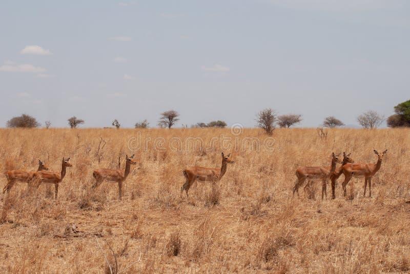 Gruppo di antilopi dell'impala nella savana del parco nazionale di Tarangire, Tanzania immagine stock libera da diritti