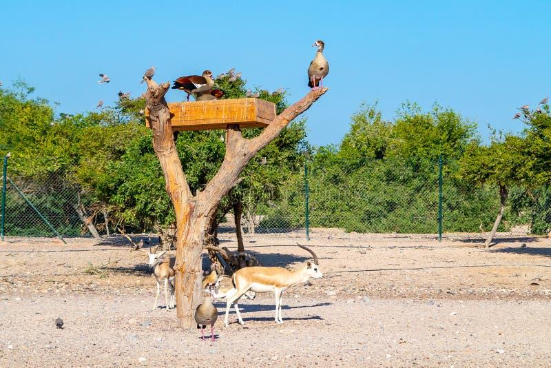 Gruppo di antilopi e di uccelli in Safari Park sull'isola di Sir Bani Yas, Emirati Arabi Uniti fotografia stock libera da diritti