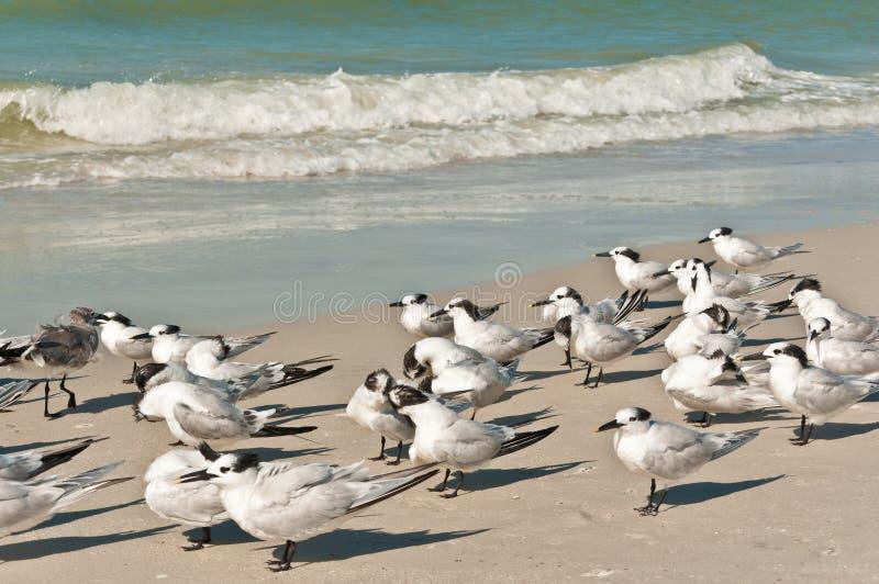 Gruppo di beccapesci che affrontano un vento di spavalderia su una spiaggia tropicale immagini stock