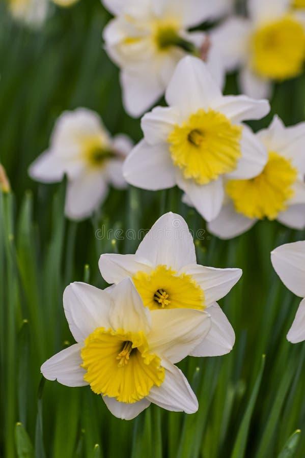 Gruppo di bei fiori del narciso immagini stock libere da diritti