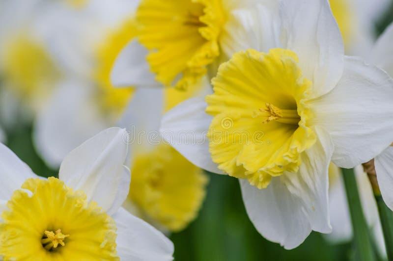 Gruppo di bei fiori del narciso fotografie stock libere da diritti