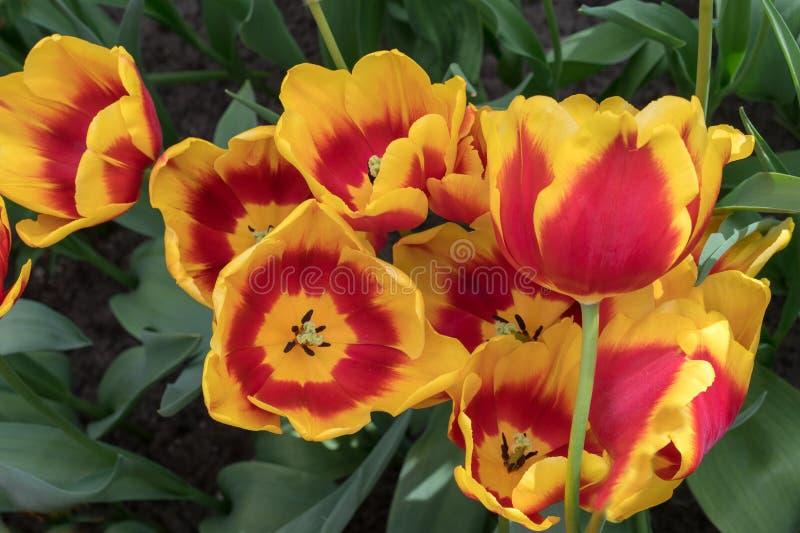 Gruppo di bei tulipani gialli rossi vibranti vicini nel campo olandese dell'Olanda il giorno soleggiato nel parco fotografie stock libere da diritti