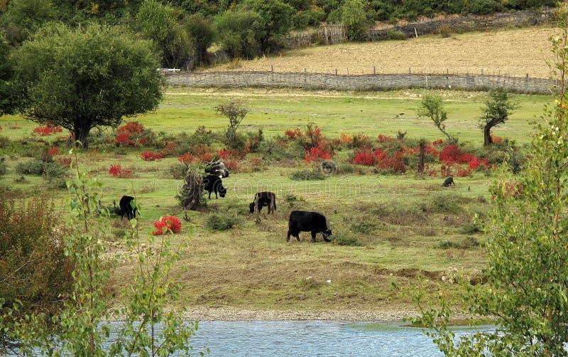Gruppo di bestiame in un campo verde da un fiume fotografie stock