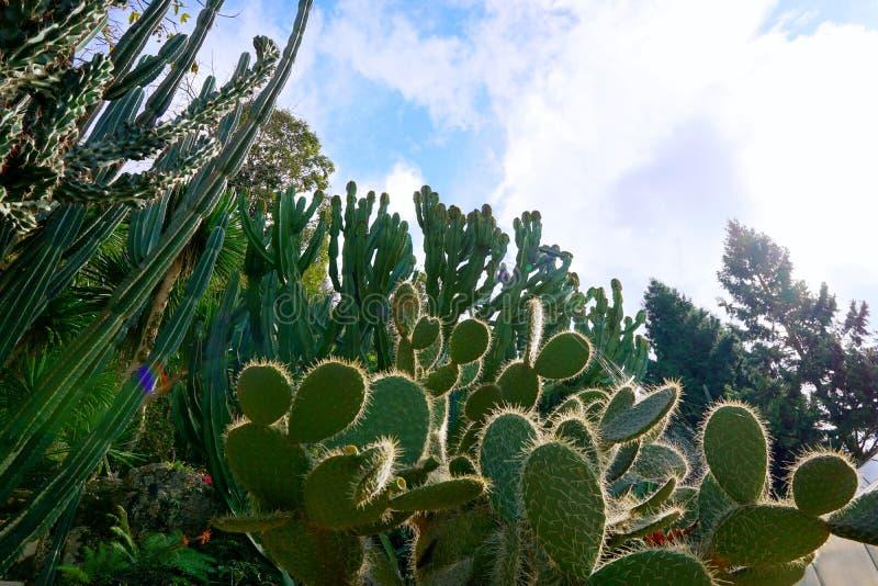 Gruppo di cactus verde nel giardino botanico, pianta esotica fotografia stock