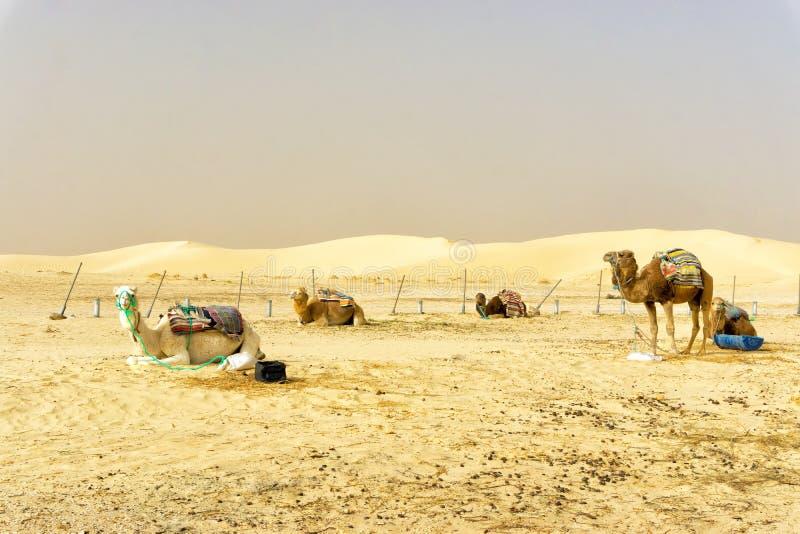 Gruppo di cammelli nel deserto della ONG Jemel in Tunisia fotografie stock