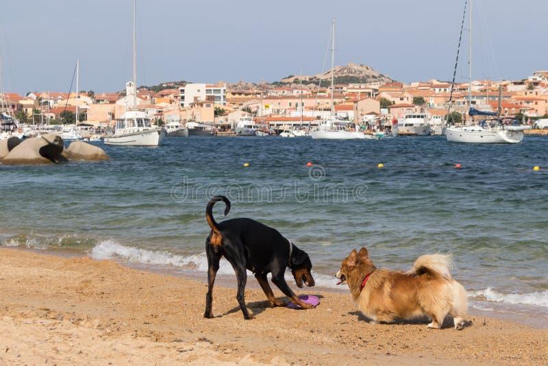 Gruppo di cani che giocano sulla spiaggia amichevole dei cani vicino a Palau, Sardegna, Italia fotografia stock