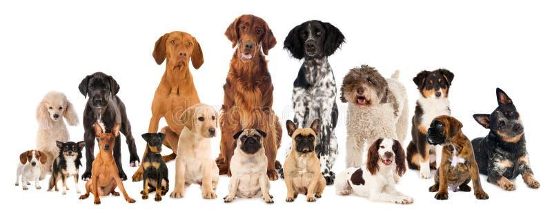 Gruppo di cani della razza isolati immagine stock