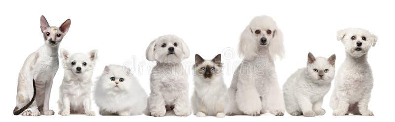 Gruppo di cani e di gatti che si siedono davanti al bianco immagini stock libere da diritti