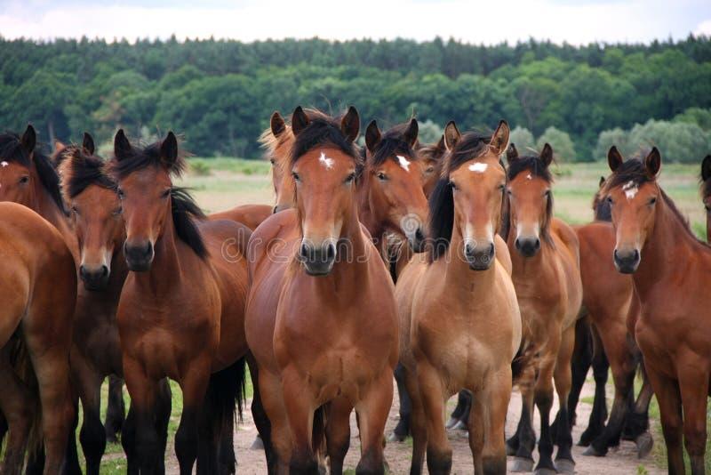 Gruppo di cavalli marroni correnti liberi selvaggi su un prato, stante parallelamente guardante davanti alla macchina fotografica fotografia stock