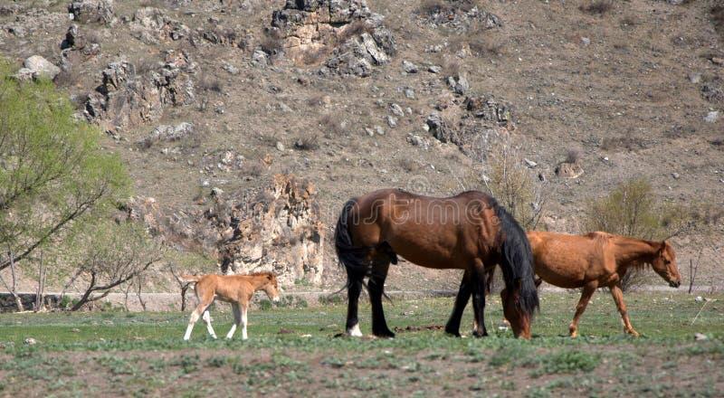 Gruppo di cavalli su un pascolo della montagna animali fotografia stock