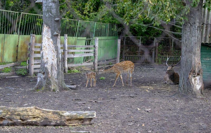 Gruppo di cervi allo zoo all'aperto in estate Concetto dello zoo Visita allo zoo fotografia stock