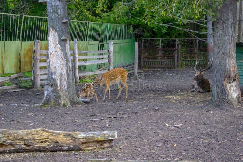 Gruppo di cervi allo zoo all'aperto in estate Concetto dello zoo Visita allo zoo fotografia stock libera da diritti