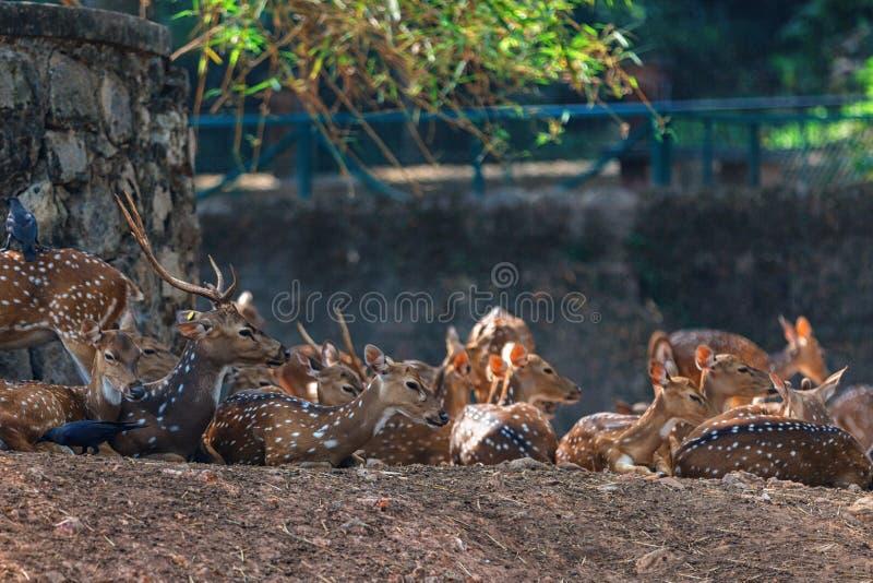 Gruppo di cervi del sambar che riposano dentro a Trivandrum, zoo Kerala India di Thiruvananthapuram fotografia stock libera da diritti